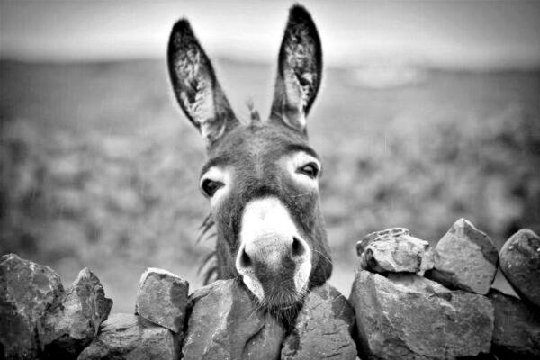 Koniecznie bądź osłem!